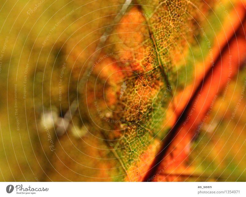 Herbstleuchten Design exotisch harmonisch ruhig Erntedankfest Kunstwerk Umwelt Natur Pflanze Sonnenlicht Blatt Ahornblatt Herbstlaub Wald Laubwald Verkehr alt