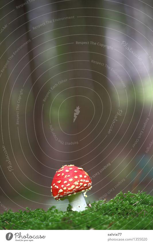 Ein Männlein steht alleine... Umwelt Natur Tier Herbst Pflanze Moos Grünpflanze Pilz Fliegenpilz Wald stehen Wachstum dunkel frisch klein natürlich weich braun
