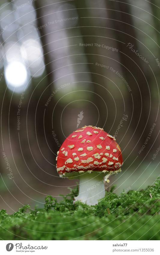 Rotkäppchen ruhig Umwelt Natur Herbst Pflanze Moos Fliegenpilz Pilz Pilzhut Wald leuchten stehen Wachstum ästhetisch frisch schön weich grün rot Trauer