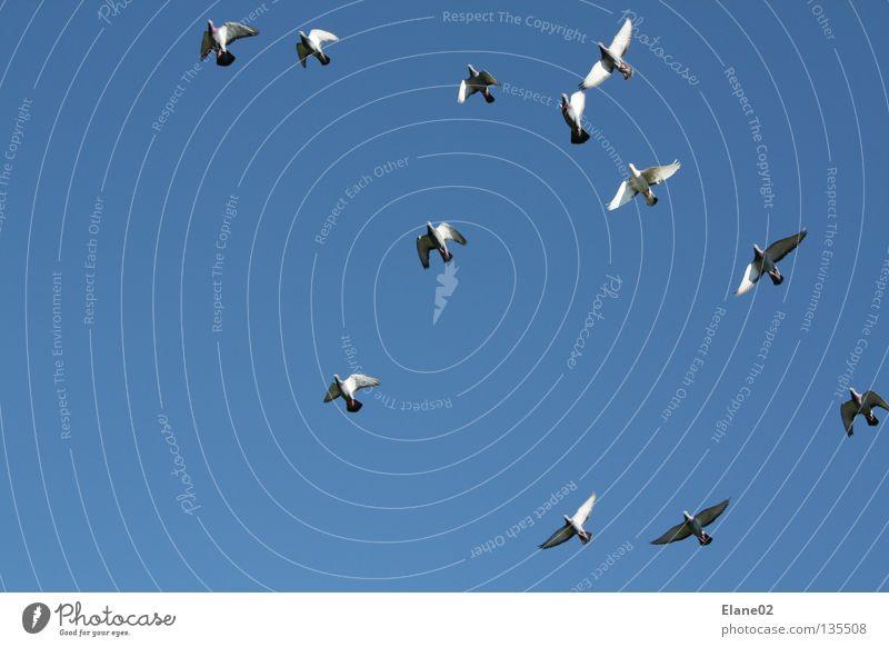 Wettkampf Himmel Luft Vogel fliegen Taube Wolkenloser Himmel Blauer Himmel himmelblau Vogelschwarm Vogelflug Brieftaube Luftraum Klarer Himmel