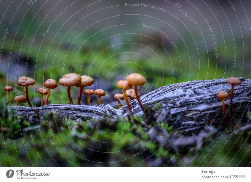 Kleine aber feine Pilz Gruppe Umwelt Natur Landschaft Pflanze Tier Herbst Moos Park Wiese Wald Essen Wachstum Pilzhut Pilzkopf Pilzgruppe Pilzsucher