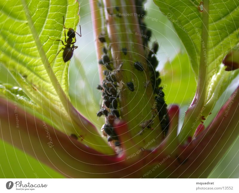 Ameise_Blattlaus Blattläuse grün Insekt Verkehr Makroaufnahme
