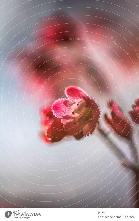 klein aber fein Pflanze Schönes Wetter Blume Blüte Blühend ästhetisch frisch natürlich schön gold Natur Farbfoto Außenaufnahme Nahaufnahme Detailaufnahme
