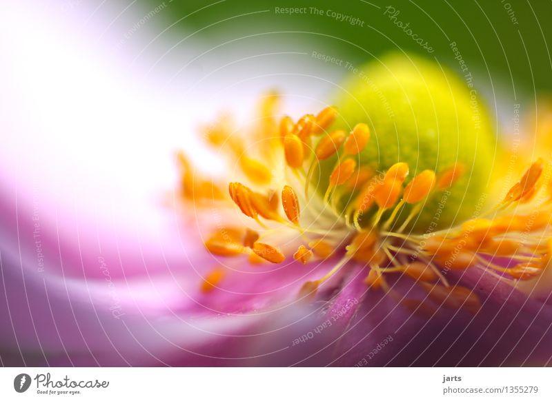 herbst anemone II Pflanze Schönes Wetter Blume Blatt Blüte Grünpflanze Garten Blühend ästhetisch Duft schön natürlich Natur Herbstanemone Farbfoto mehrfarbig