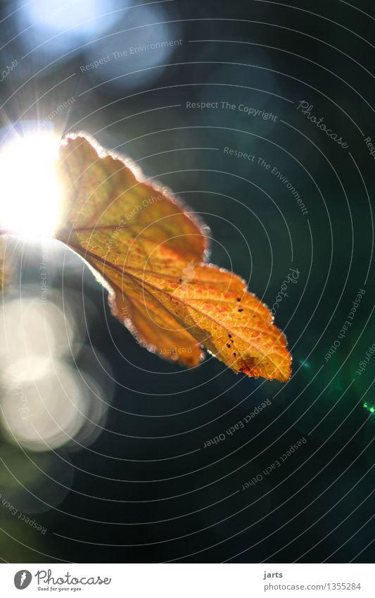 herbstlicht Natur Pflanze Herbst Schönes Wetter Blatt Wald glänzend hell schön natürlich orange rot Farbfoto Außenaufnahme Nahaufnahme Menschenleer