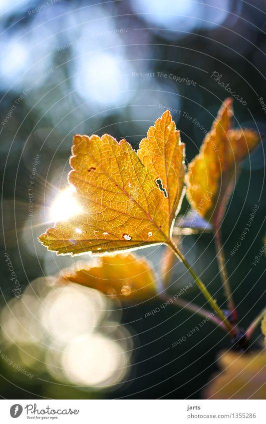 herbstlicht II Pflanze Herbst Schönes Wetter Baum Blatt Wald glänzend hell natürlich braun orange Natur Farbfoto Außenaufnahme Nahaufnahme Detailaufnahme
