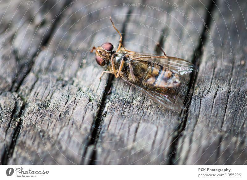 Der langsame Tod des Herrn Insekt rot Tier Auge Holz grau Beine gold Fliege authentisch Flügel Armut niedlich kaputt gruselig Biene