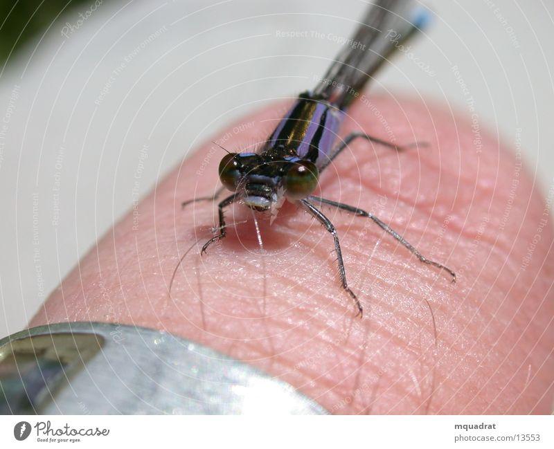 kleine_Libelle Verkehr Finger Insekt Makroaufnahme Facettenauge