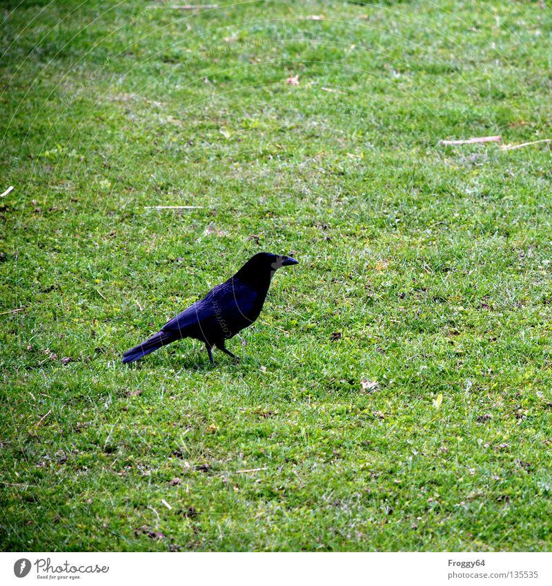 Hans Huckebein Blume grün schwarz Tier Wiese Gras Frühling Vogel gehen laufen fliegen Feder Zoo Schnabel Schwanz Gehege