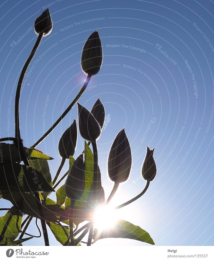 sonnige Knospen... emporragend Wand Wachstum gedeihen Blume Blüte Stengel lang dünn Oval Pflanze Sonne Beleuchtung Sonnenstrahlen Frühling Schönes Wetter hoch