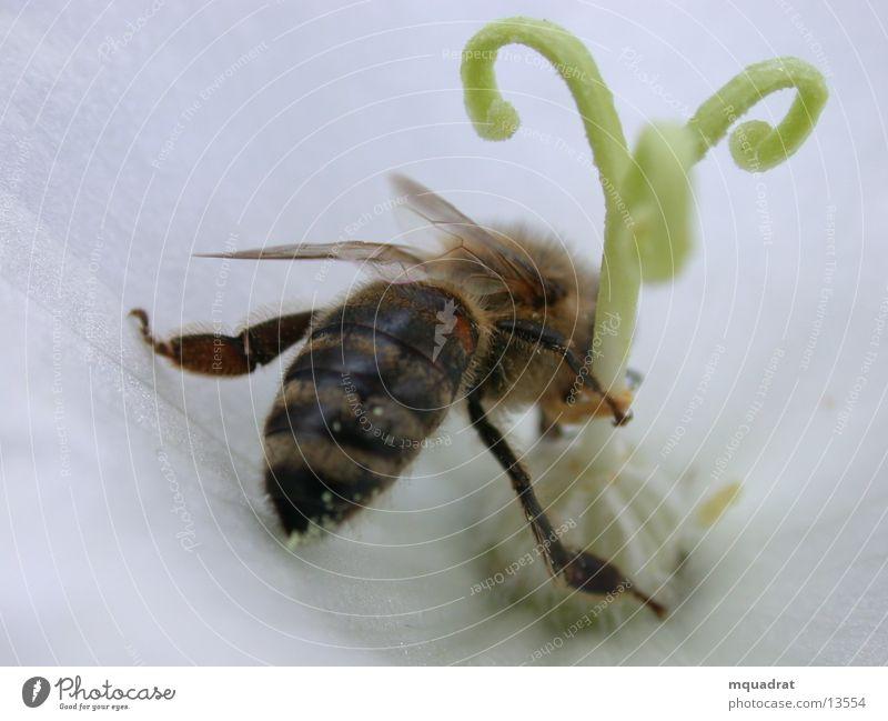Biene_Blüte Blütenstempel Insekt Verkehr Pollen Makroaufnahme