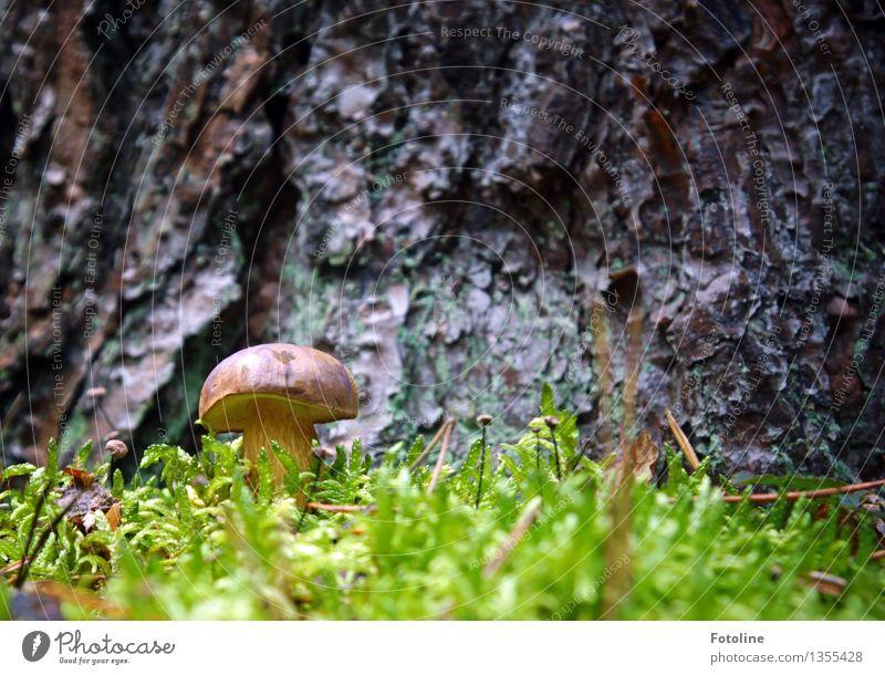 Schöööööööne Marone! Umwelt Natur Pflanze Herbst Schönes Wetter Baum Moos Wald hell klein natürlich braun grün Pilz Maronenröhrling Farbfoto mehrfarbig