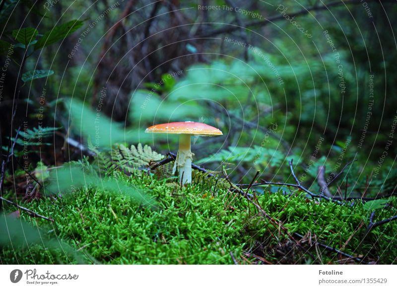 Fliegenpilz Umwelt Natur Landschaft Pflanze Herbst Schönes Wetter Moos Farn Wald natürlich grün rot Sträucher Farbfoto mehrfarbig Außenaufnahme Menschenleer Tag