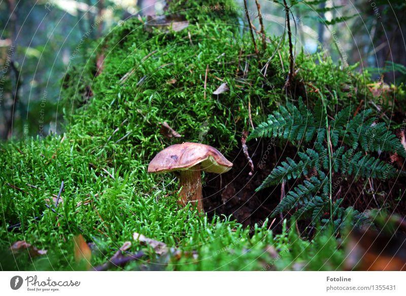 versteckt... Umwelt Natur Herbst Schönes Wetter Pflanze Moos Farn Wald natürlich braun grün Pilz Pilzhut Maronenröhrling Farbfoto mehrfarbig Außenaufnahme