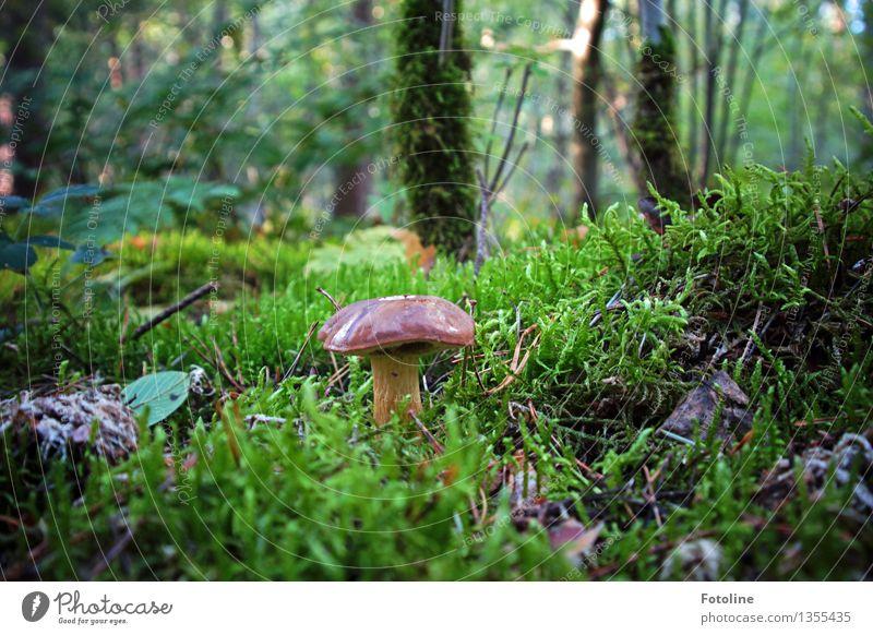 Hmmmjamjamjam! Umwelt Natur Pflanze Herbst Schönes Wetter Baum Gras Moos Wald natürlich braun grün Pilz Maronenröhrling Farbfoto mehrfarbig Außenaufnahme