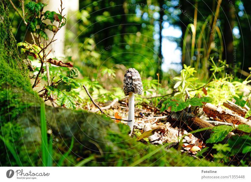 Sonnenbad Umwelt Natur Landschaft Pflanze Herbst Baum Sträucher Moos Wald hell natürlich braun grün Pilz Waldboden Pilzhut Farbfoto mehrfarbig Außenaufnahme
