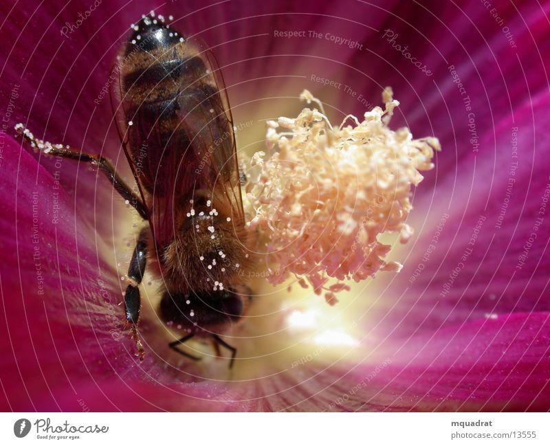 Biene_Blüte2 Blütenstempel Insekt Verkehr Pollen Makroaufnahme