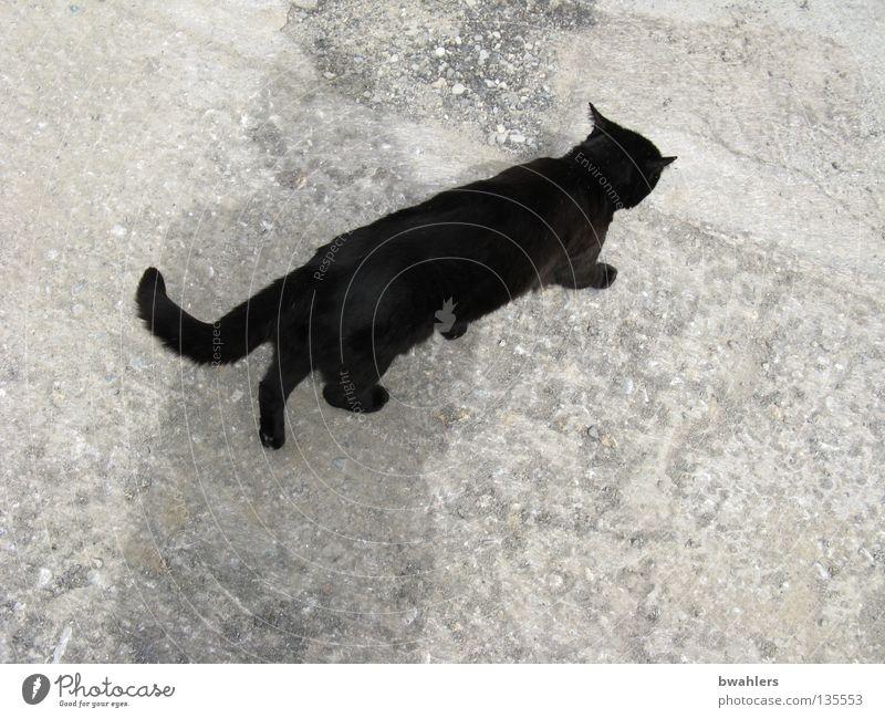 Katze von oben schwarz grau Teer Säugetier Verkehrswege laufen Straße Wege & Pfade Stein
