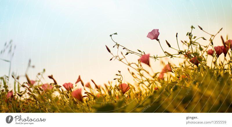 Kanarischer Frühling Umwelt Natur Pflanze Himmel Wolken Sonnenlicht Klima Wetter Schönes Wetter Wärme Blume Gras Sträucher Wildpflanze Feld frisch blau gelb