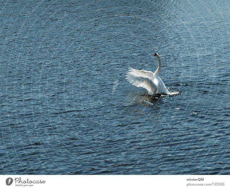 Swanlake. Wasser Meer oben See Vogel fliegen Beginn Fluss Feder Flügel aufwärts Schifffahrt Flugzeuglandung Teich Schwan Brunft