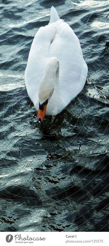 hoch schwimmen Wasser schön weiß grün blau Tier Leben dunkel See Vogel Wellen Wind elegant Wassertropfen groß hoch