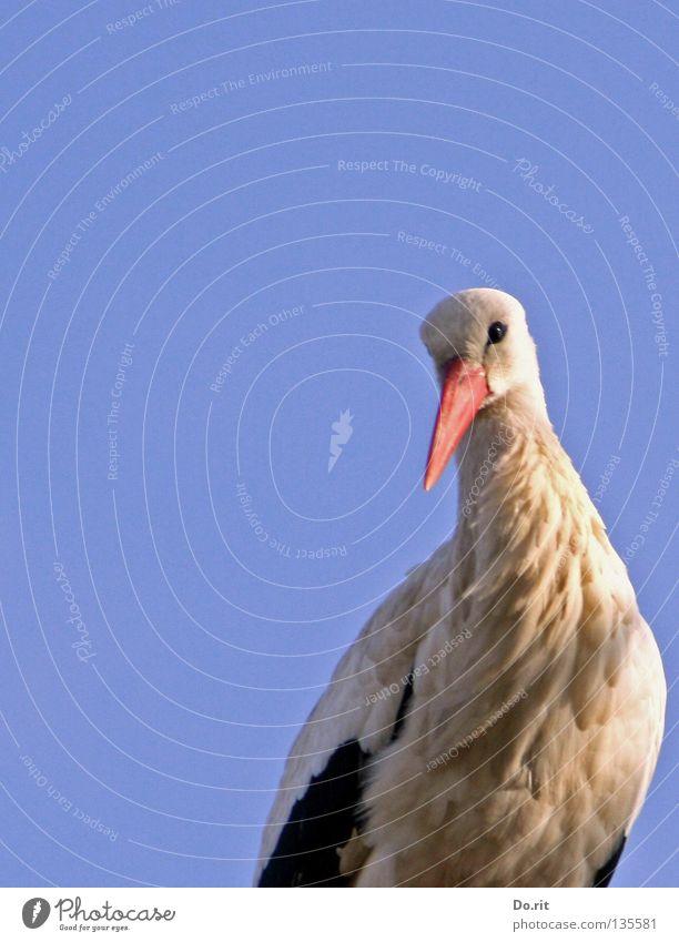 guck mal wer da guckt Storch Weißstorch Schnabel Blauer Himmel sonnenbeschienen Federvieh groß Suche ruhig Ferne Geburt Frühling Afrika Vogel Hausstorch