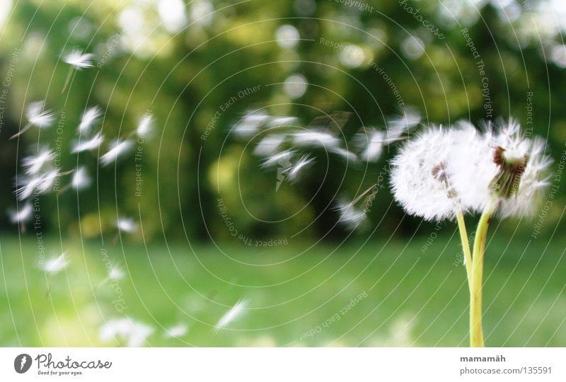 Pusteblume Farbfoto Außenaufnahme Tag Natur Luft Sonne Frühling Schönes Wetter Wind Pflanze Blume Gras Löwenzahn Wiese Fluggerät fallen fliegen grün verbreiten