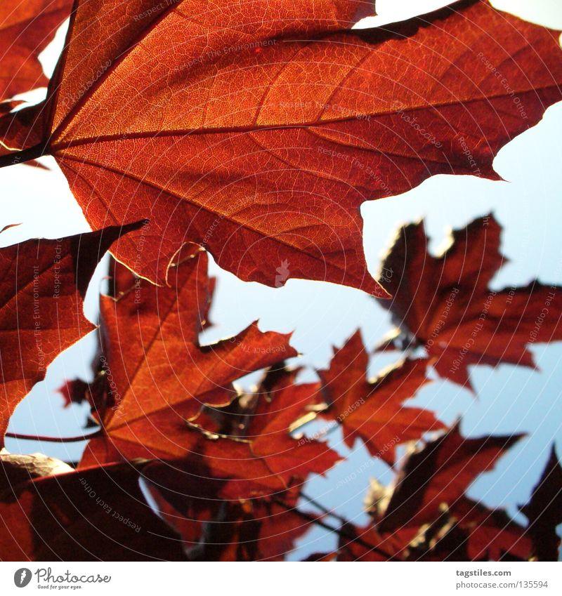 BRAUNROT Baum rot Blatt Farbe Herbst Wärme braun Physik Blattadern rotbraun