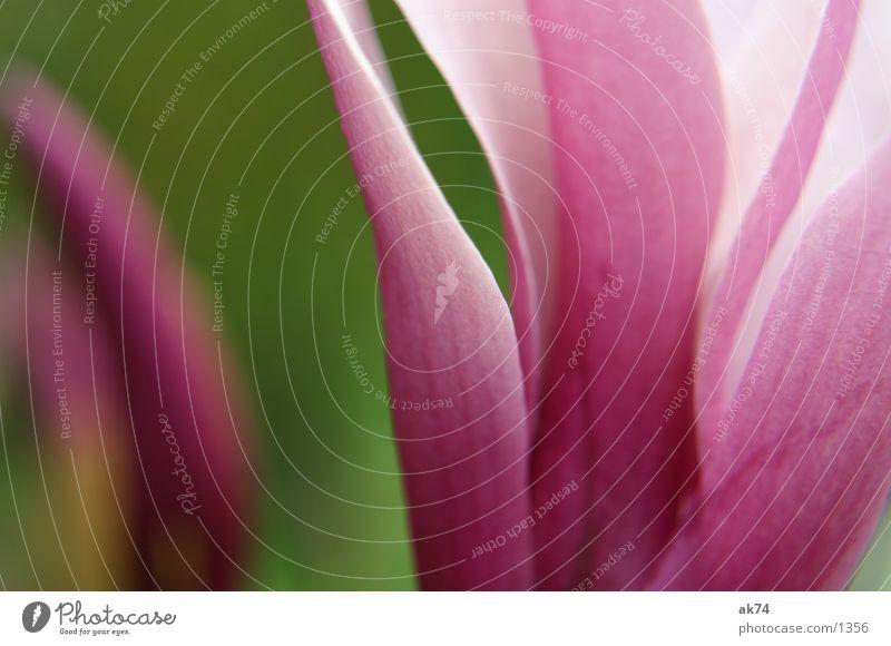 magnolia Magnoliengewächse Blüte rosa grün Baum Blume Makroaufnahme