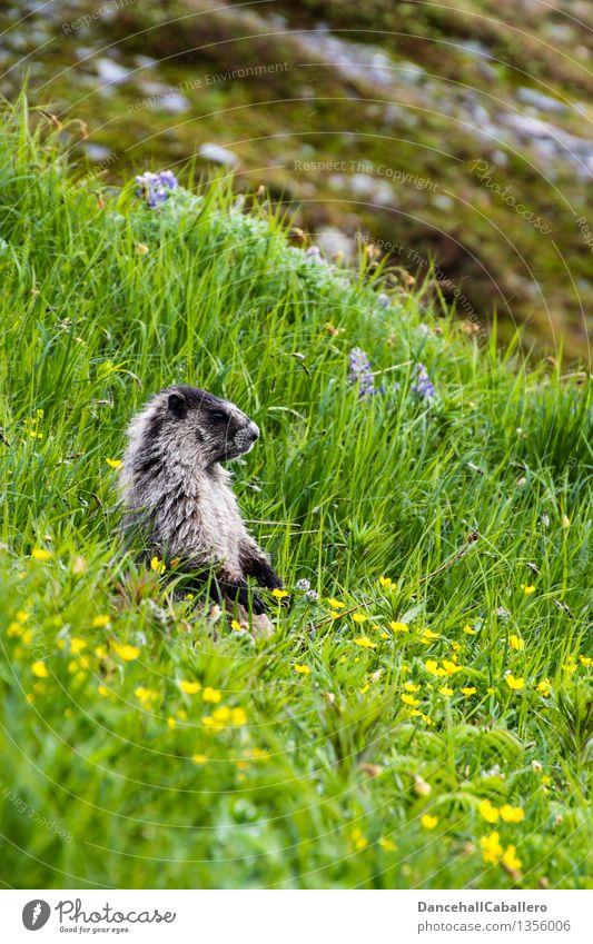 Essen ist fertig... Sommer Berge u. Gebirge Zoo Landschaft Tier Frühling Blume Gras Blüte Wiese Feld Alpen Fell Wildtier dick Freundlichkeit niedlich grün
