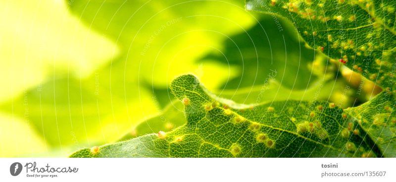 grün [2/2] Blatt Makroaufnahme Strukturen & Formen Staubfäden Pollen Natur Leben saftig hellgrün Photosynthese Licht zart Frühling Hoffnung tosini