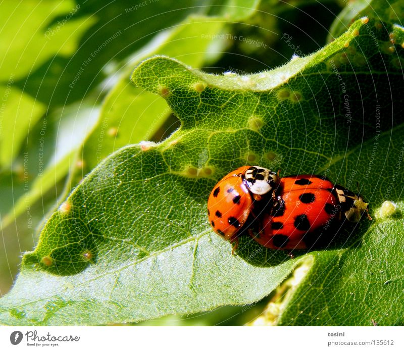 Marienkäferliebe [2/2] Natur grün rot Blatt Tier Frühling Freundschaft Zusammensein Tierpaar paarweise Punkt Partner Verliebtheit Fleck Käfer