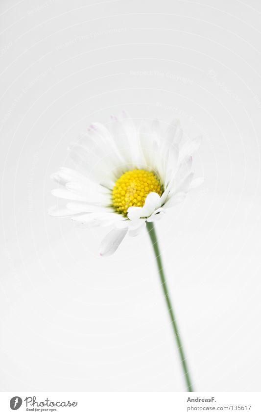 Gänseblümchen Blume Hand Blüte klein Finger zart Ernte Pollen geben Muttertag zierlich