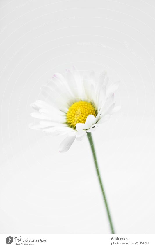 Gänseblümchen Blume Hand Blüte klein Finger zart Ernte Gänseblümchen Pollen geben Muttertag zierlich