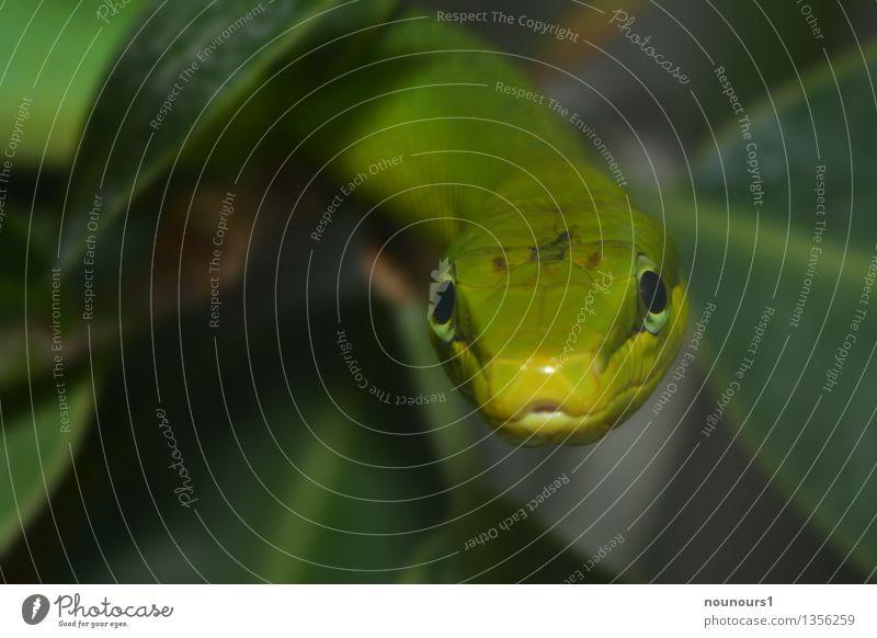 giftigrün Natur Tier Pflanze Blatt Grünpflanze Schlange Tiergesicht Schuppen Zoo 1 hängen Jagd Blick krabbeln Natter natternartige Reptil Schlangenlinie