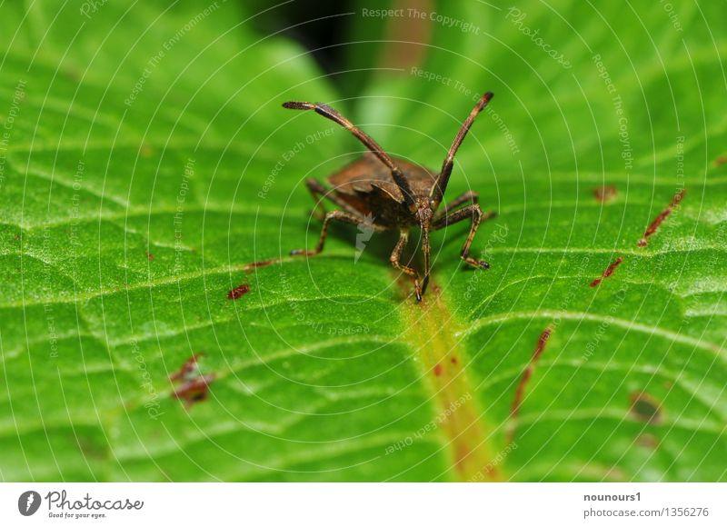 Coriomeris denticulatus Lederwanze Natur Tier Wildtier Wanze 1 sitzen Aggression außergewöhnlich bedrohlich dünn braun grün coriomeris denticulatus Facettenauge