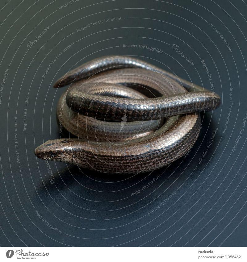 Blindschleiche, Anguis, fragilis, Echsenart, Echse, Natur Tier schwarz Hintergrundbild frei Stillleben Reptil Schlag Objektfotografie neutral Echte Eidechsen