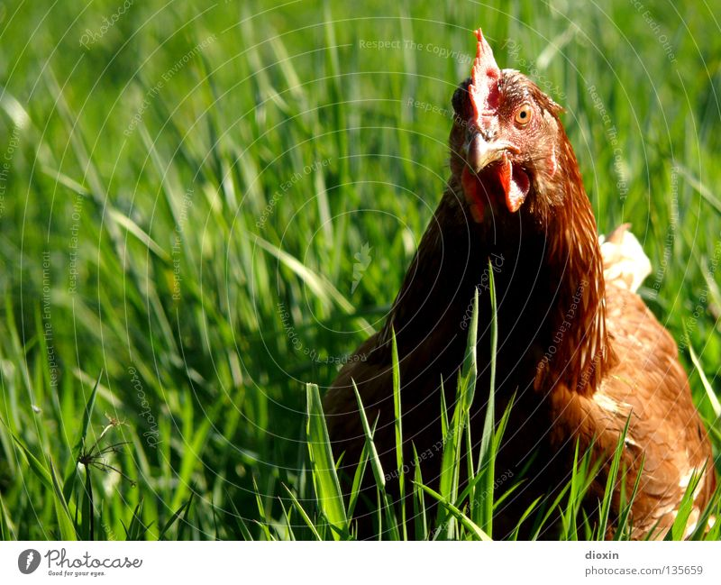 Psycho Chicken Lebensmittel Ernährung Bioprodukte Glück Freiheit Umwelt Natur Gras Wiese Vogel frei verrückt Haushuhn Schnabel Freilandhaltung