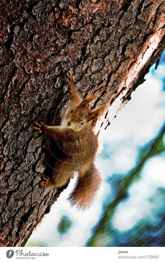 Freeclimber Natur Baum rot Tier Erholung Auge Garten lustig Park braun frei Geschwindigkeit Aktion Europa süß niedlich