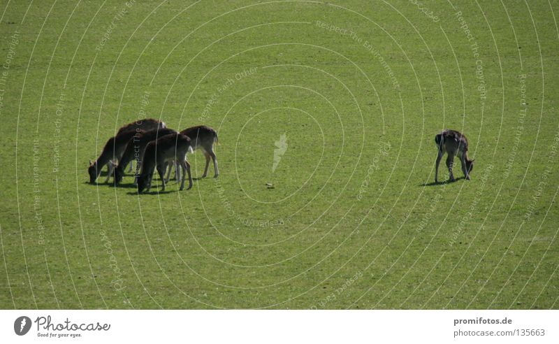 Der Außenseiter Natur Tier Gras Wildtier mehrere Macht Säugetier Hirsche Reh