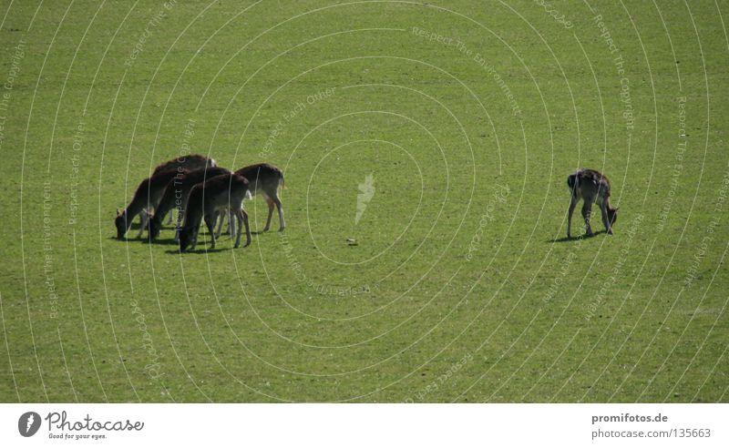 Reh steht auf einer Wiese am Rand einer Gruppe. Foto: Alexander Hauk Tier Wildtier Gras Außenseiter Hirsche Säugetier Macht Natur mehrere getrennte Wege wild