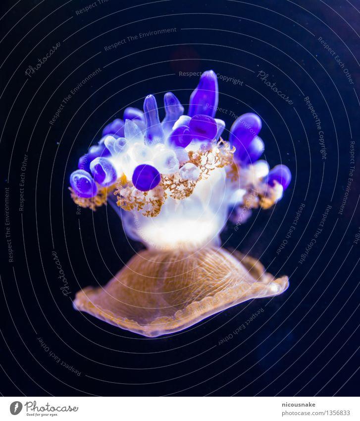 Qualle Aquarium 1 Tier Bewegung Schwimmen & Baden niedlich schön braun violett weiß bizarr exotisch Farbe Umweltschutz Farbfoto Nahaufnahme Detailaufnahme