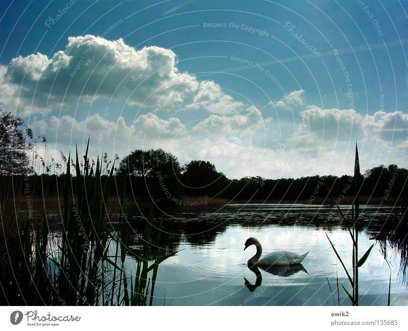 Still und schön ruhig Natur Pflanze Tier Wasser Himmel Wolken Horizont Frühling Wetter Baum See Vogel Schwan Wasseroberfläche Wasserpflanze Feder gefiedert
