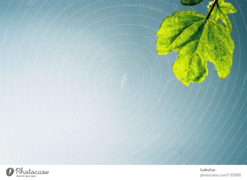 Zur Sonne wachsen Himmel Sonne grün blau Pflanze Blatt Park hell Blattgrün