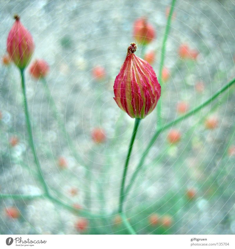 modesty Blume bescheiden dezent Schüchternheit rot grün Pflanze Blüte Botanik Frühling Makroaufnahme Nahaufnahme unaufdringlichkeit Blühend
