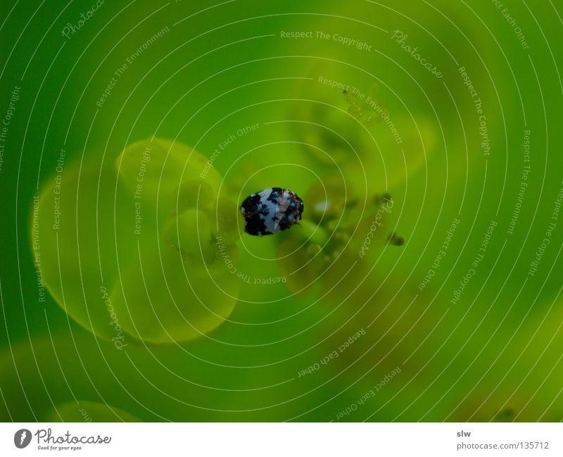 GrünBlau grün frisch saftig Blatt Käfer Unscharf verschwommen Natur Makroaufnahme