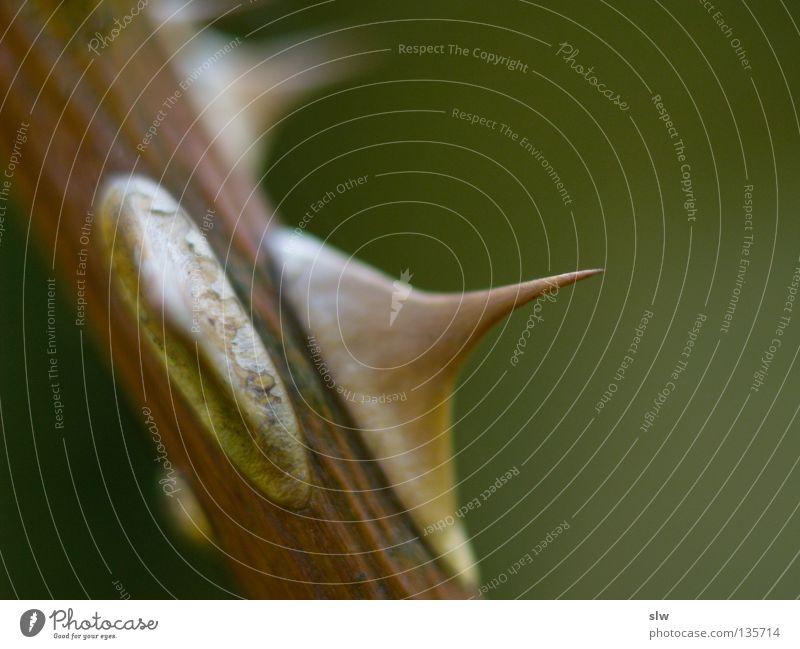 Rosenstachel Holz Stock Unschärfe Makroaufnahme Nahaufnahme Rosaceae Stachel Spitze Scharfer Gegenstand