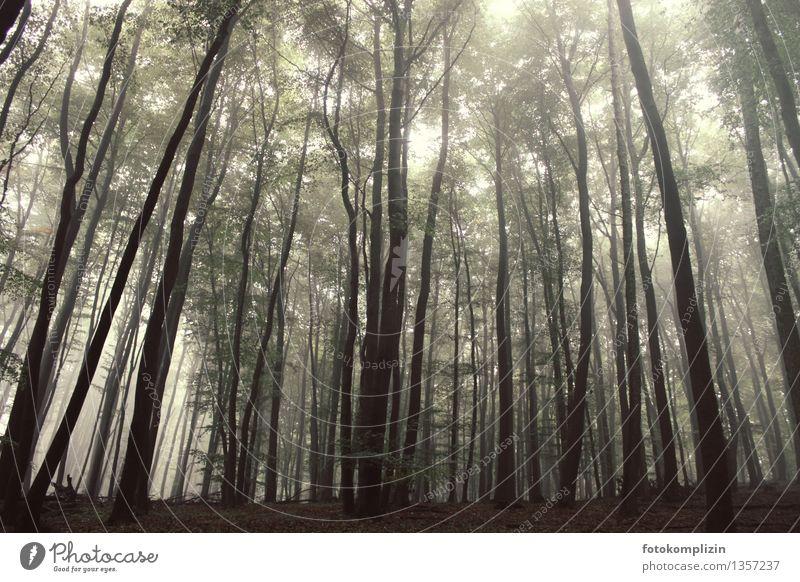 waldgradbäume Umwelt Natur Pflanze Baum Wald Baumstamm stehen leuchten dunkel groß hoch grau Einigkeit Verschwiegenheit ruhig Einsamkeit gleich kalt Klima