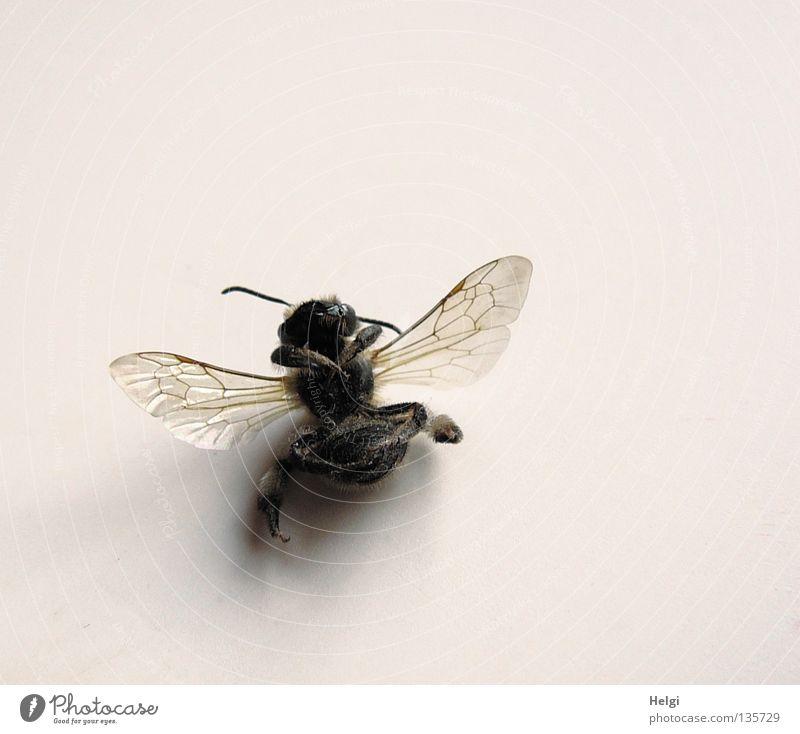 hingelegt.... schwarz Tod Beine braun liegen Flügel Vergänglichkeit fallen Insekt Biene durchsichtig Fühler filigran Makroaufnahme Honigbiene