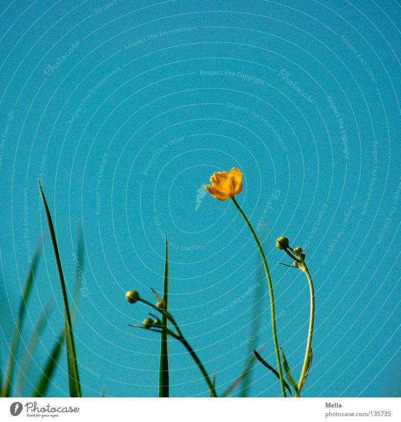 Botterbloom Himmel Blume blau Freude gelb Wiese Blüte Gras Frühling Beleuchtung Fröhlichkeit Stengel Halm Schönes Wetter Blütenknospen Hahnenfuß